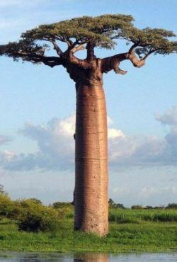 Baobab,drzewo nie z tej ziemi / The Upside Down Tree
